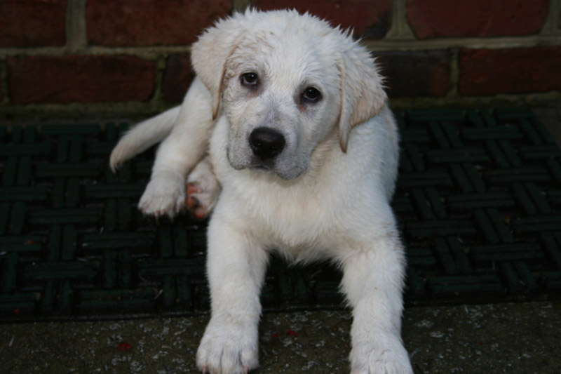 Shelbys White Labrador Breeders A White Lab Breeder Puppies For Sale