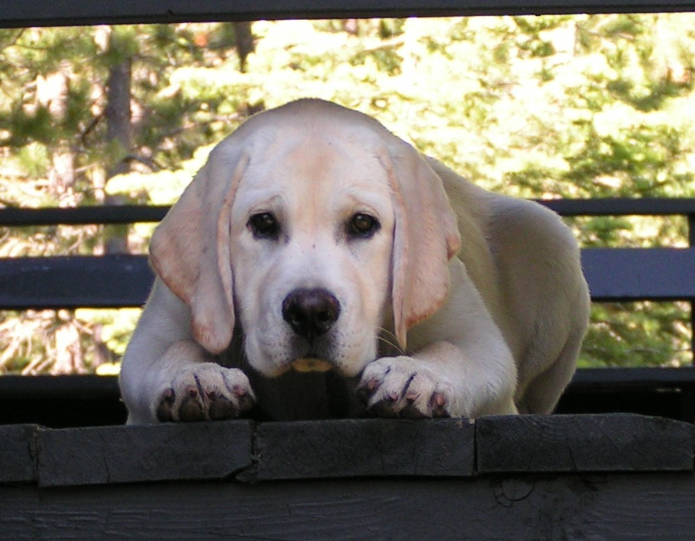 Mature labrador for sale
