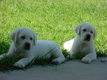 Shelby's White Labradors - Breeders | White Lab Breeders